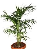 #6: Choloroplants Areca Palm Plant