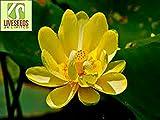 Liveseeds - ciotola di loto / giglio di acqua di fiori / bonsai Lotus / stagni / 5 semi freschi / Trollius Asiaticus / Giallo