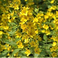 Goldgilbweiderich Lysimachia vulgaris Teichpflanze Teichpflanzen Teich