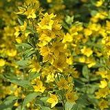 Gold-Felberich, Lysimachia punctata