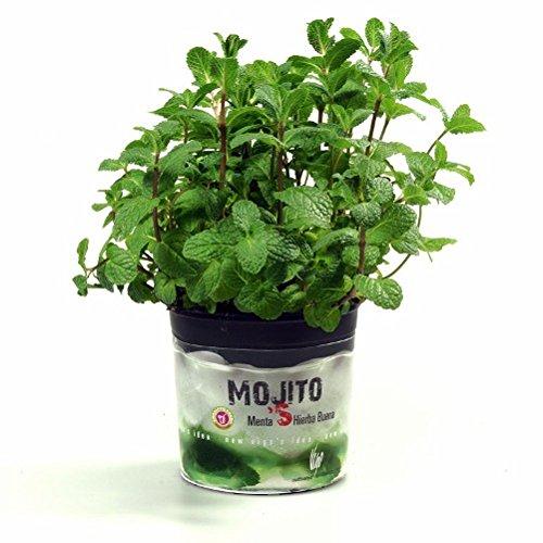 vivai-le-georgiche-menta-mojito-hierba-buena