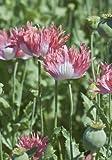 TROPICA - Fransenmohn -Pink ( Papaver Laciniatum Pink ) - 1500 Samen