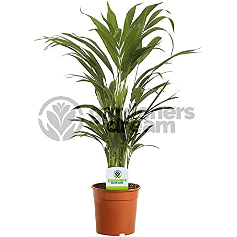 Areca Palm Lutescens - 1 Plant - House / Office Live Indoor Pot Plant Tree In 13cm Pot
