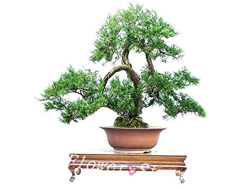 juniper-bonsai-tree-potted-flowers-office-cypress-bonsai-purify-the-air-absorb-harmful-gases