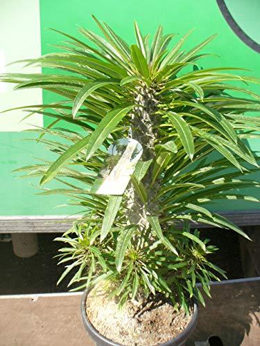 Pachypodium Madagaskarpalme