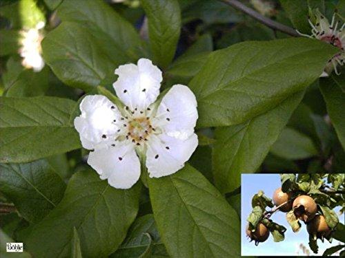 Echte Mispel - Mespilus germanica - mit essbaren Früchten - 60-100 cm