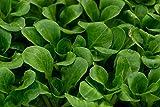 Baby Leaf - Endivie
