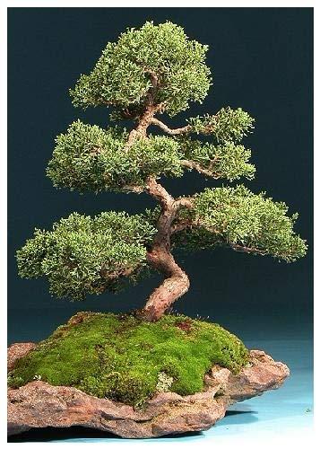Galleria fotografica TROPICA - Ginepro cinese (Juniperus chinensis) - 15 Semi- Bonsai
