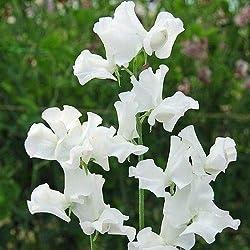 Portal Cool Blumensamen Wicken Swan Lake Garden Patio EU-Standard