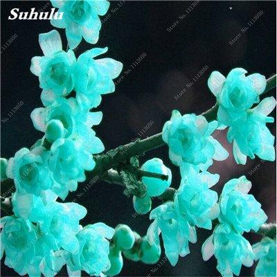 10 Pcs Plum Graines de fleurs, hiver Blooming Fragrant Arbuste Fleur froide Hardy plante, pot intérieur / extérieur Graine Famille Facile à planter 4