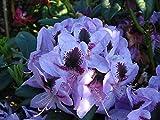 Rhododendron Hybride Metallica Rhododendron lila-rot-violett blühend Lieferhöhe 40-50 cm im Topf
