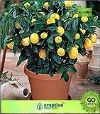 Semi tipo: frutta, seme seme (1 pacchetto),adatto per: interno, esterno, fioritura, tipo di seme: frutta, fioritura