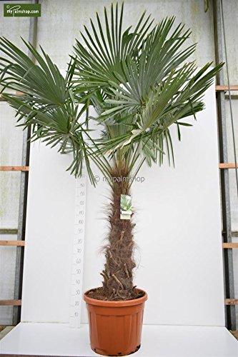 faecherpalme winterhart Trachycarpus fortunei, Palme, Hanfpalme Winterhart, Stamm. 120-140cm - Topf Deco Ø 50 cm - 70 Ltr - PALLETTENVERSAND INNERHALB DEUTSCHLAND