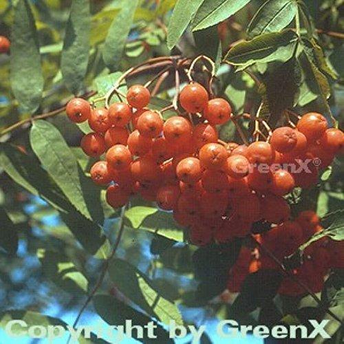 Mährische Eberesche 100-125cm – Sorbus aucuparia