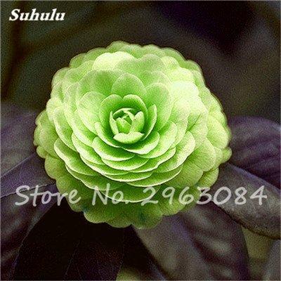 5 pièces rares Graines arc-en-Camellia fleurs, plantes en pot de bricolage, Lumière Parfumée Fleur intérieur, intérieur Bonsai planter des fleurs Semences 14