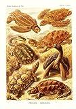 Tafel 89 - Schildkröten - aus: Ernst Haeckel - Kunstformen der Natur, 1900 - Nachdruck einer Illustrations-Tafel