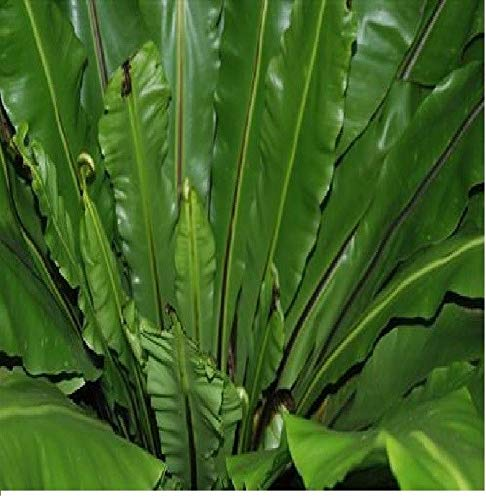 100x Asplenium nidus Kübelpflanze Vogelnestfarn Garten Samen Pflanze Neu B731