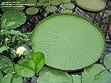 Portal Cool 5pcs semi Bonsai Fiore Victoria Amazonica Giant Water Lily Lotus Garden