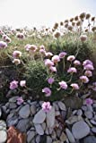 Just Seed British Wild Flower - Thrift - Sea Pink - Armeria maritima - 60 Seed - Rockeries
