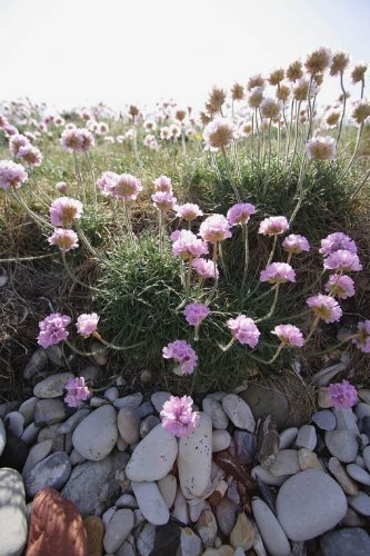 just-seed-british-wild-flower-thrift-sea-pink-armeria-maritima-60-seed-rockeries