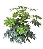 Zimmerpflanze für Wohnraum oder Büro - Japanische Aralie - Zimmeraralie