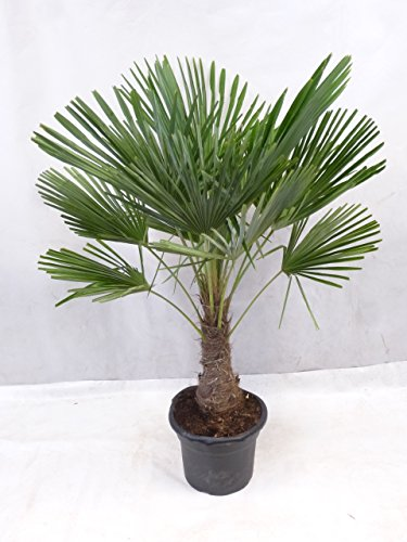 [Palmenlager] – Trachycarpus fortunei – Winterharte Palme 150 cm – sehr dicker Stamm 30/40 cm