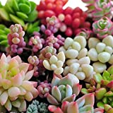 #8: Mixed Succulent Seeds Lithops Rare Living Stones Cactus 50 Seeds by GalexiaR™