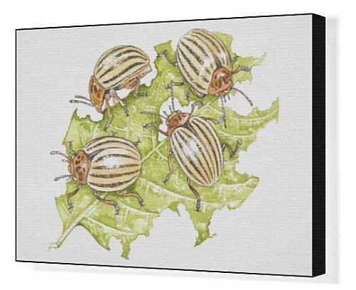 canvas-print-of-four-colorado-beetles-leptinotarsa-decemlineata-feeding-on-a-potato-leaf