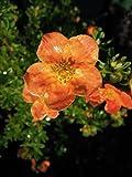 Fingerstrauch Red Ace 20-30 cm Strauch für Sonne-Halbschatten Heckenpflanze orange-rot blühend Gartenpflanze winterhart 1 Pflanze im Topf