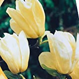 Magnolie 'Yellow Bird' 60-80 5 L Co.