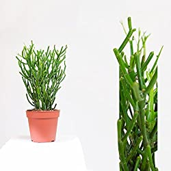 Euphorbia succ. tirucalli Árbol de lápiz 45 cm 13 cm maceta