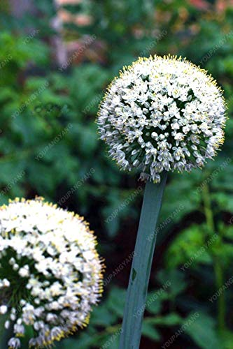 100 pcs blanc géant oignon Graines Balcon Graines rares Allium Potted vivaces ornementales Graines de fleurs Noir