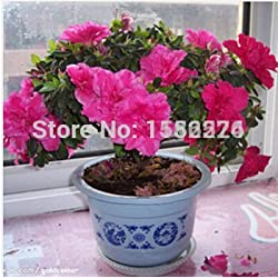 Vistaric 50 stücke Mischung aus Azaleen - Rhododendron simsii Samen Bonsai Blume Pflanzensamen