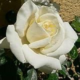 White New Dawn (Rosa rampicanti / Rambler) - (Pianta rampicante - Rosa - Pianta adulta - Bianco) - Muri e recinzioni, Pergola, Balconi e terrazze | ClematisOnline - clematidi e rampicanti più economiche