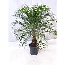 [Palmenlager] - Phoenix roebelenii Zwergdattelpalme 130 cm/Stamm 30-40 cm/Zimmerpalme