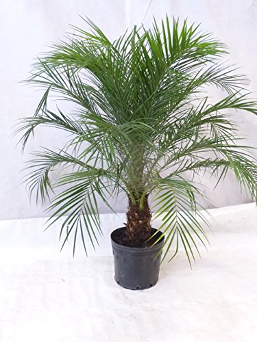 [Palmenlager] - Phoenix roebelenii Zwergdattelpalme 140 cm/Stamm 30 cm/Zimmerpalme