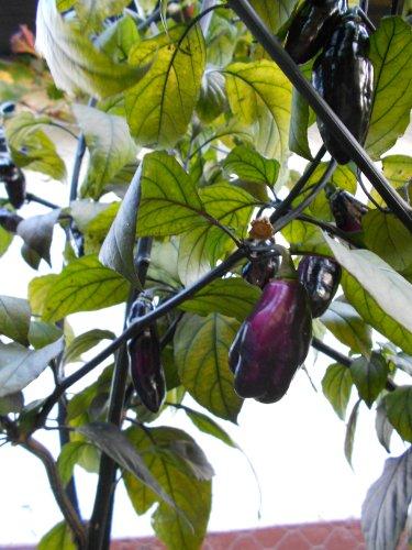"""Pimenta da Neyde 10 Samen """"Rarität"""" ***Unreif und Reif Violett***"""