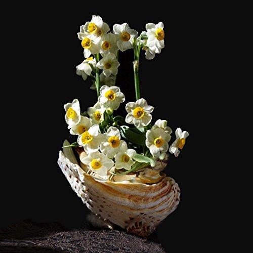 Ncient Graines de Jonquille - 100 Narcisses - Graines Semence Adorable Flower Graines Parfumées Fleurs (100 pcs)