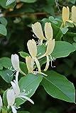 Japanisches Geissblatt 'Halliana' - Kräftige Pflanze im 2 lt.-Topf, 60-100 cm (2er-Set)