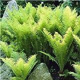 MelysEU Mehrjährige Farnsamen Zimmerpflanzen Samen Bonsai Samen Blumensamen