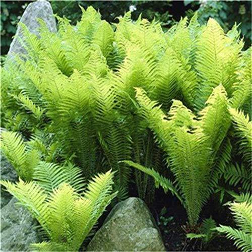 Tinement 100 Stück Mehrjährige Farnsamen Zimmerpflanzen Samen Bonsai Samen Blumensamen