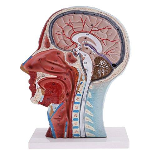 Homyl Menschliche Anatomie - Kopfmodell asiatisch mit Hals, Oberflächliche Muskelnerven Modell -