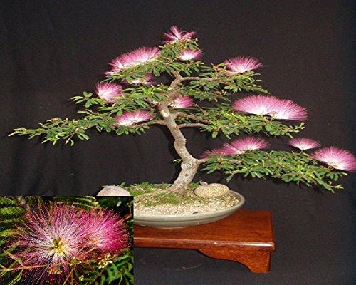 Seidenbaum Mimosa Bonsai Persisch rosa Seide Baum 10Samen SELTEN