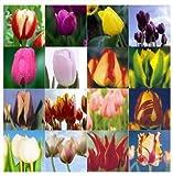 Tulip bonsai, not tulip bulbs, hydroponic bonsai flower tulip seeds - 50 pcs