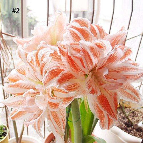 Yukio Samenhaus - Südamerikanisch Ritterstern Amaryllis ´Sweet Nymph´ 50 Stück Hippeastrum Blumensamen