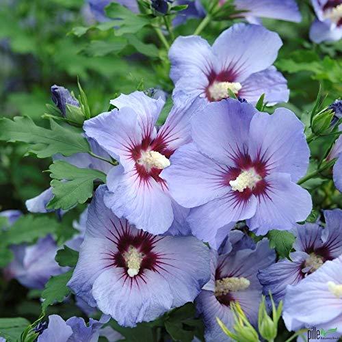 Hibiscus Stämmchen Hibiskus Garteneibisch 80cm Stamm Blue Bird Hamabo Woodbridge verschiedene Sorten (Marina) -
