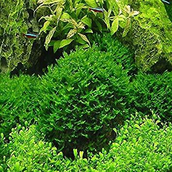 vonly Hot Pellia für lebende Fische Moss Fern Aquarium Pflanze Java-Fisch-Behälter im Wasser Landschaft Dekoration Ornament 1000 PC/Beutel: 1000