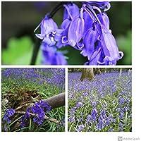 Humphreys Garden® Cultivated English Bluebells x 100 Bulbs Size 6/7