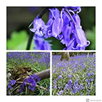 These are true English Bluebell bulbs from cultivated stock, not dug up from the wild. It is important to plant native Bluebells as opposed to the rampant Spanish ones which are taking over. English Bluebell flowers hang on one side of the stems, unl...