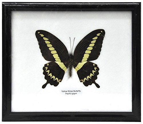 Schmetterling im Bilderrahmen,Yellow Strip butterfly